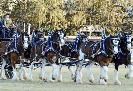 Clydesdale Horses Scotland Mid and Borders
