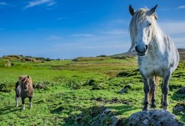 Highland and Shetland Ponies Native to Scotland North